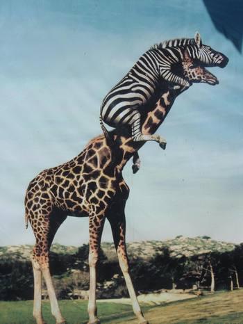 Giraffes_23