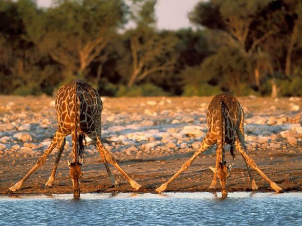 Giraffes_27