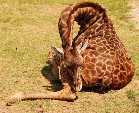 Giraffes_28
