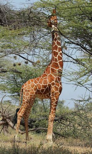 Giraffes_29