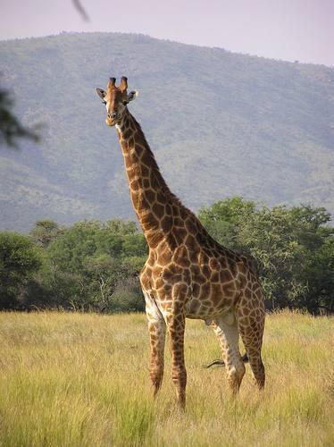 Giraffes_31