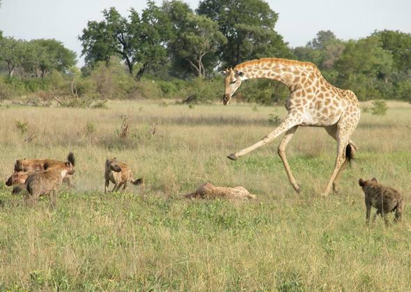 Giraffes_32