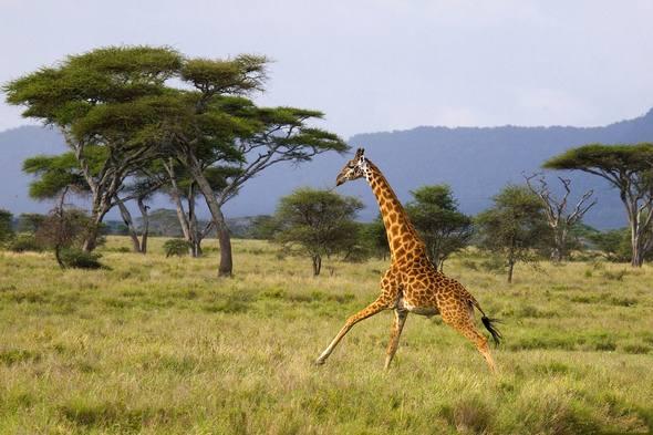 Giraffes_33