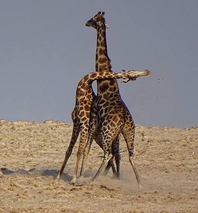 Giraffes_34