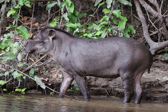 tapir_01