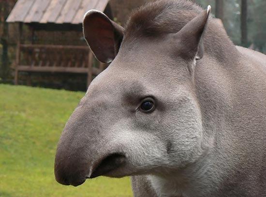 tapir_04