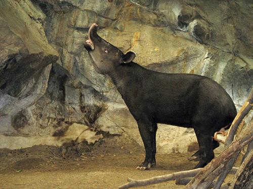 tapir_05