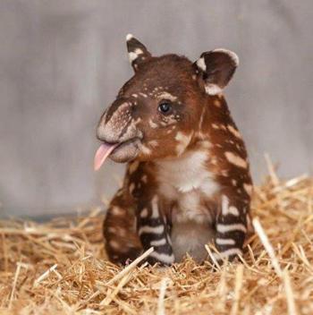 tapir_06