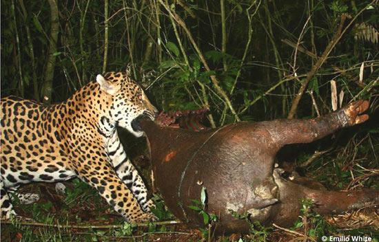 tapir_07