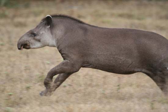 tapir_08