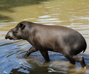 tapir_09a