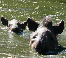 tapir_09b