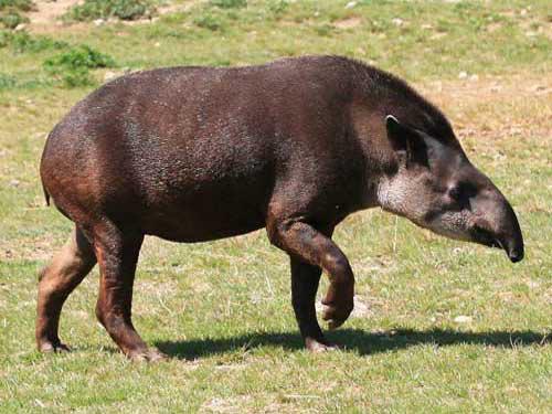 tapir_11