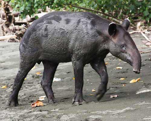 tapir_12