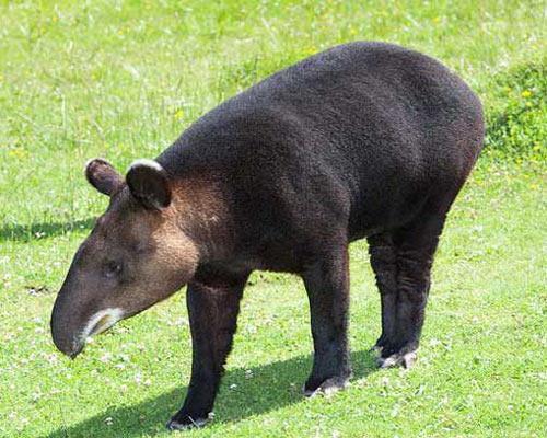 tapir_13