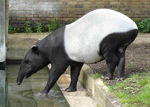 tapir_14