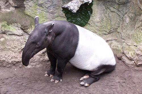 tapir_15